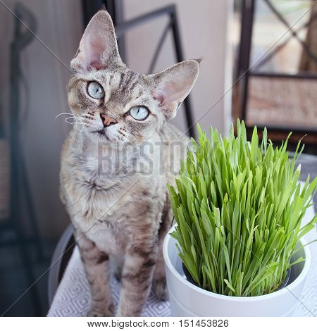poster of Pet grass, cat grass keeps your cat entertained and happy. Devon rex cat likes to eat cat grass