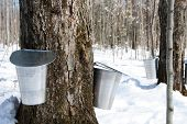 picture of maple syrup  - Maple syrup season - JPG