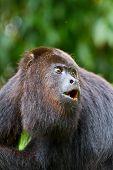 Howling Monkey, Belize