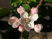 Apple Blossom 3