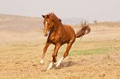 pic of running horse  - Chestnut horse running on a grass field on a farm - JPG