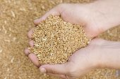 wheat grain seeds in hands