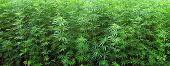 stock photo of marijuana plant  - grass - JPG