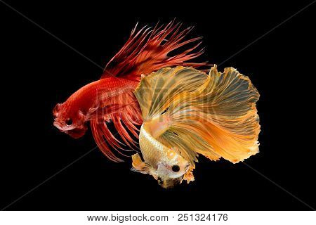 poster of Close Up Art Movement Of Betta Fish,siamese Fighting Fish Isolated On Black Background.fine Art Desi