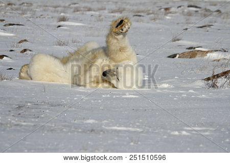 Polar Bear Ursus Maritimus Rolling