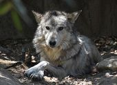 A Timber Wolf With A Very Solemn Expression On His Face. poster