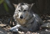 Amazing Look Into The Face Of A Relaxing Mexican Wolf. poster