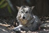 Timber Wolf Resting In A Pile Of Leaves. poster
