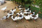 Domestic Geese Graze on Traditional Village Goose Farm, Farm Animals, Farm Landscape, Home Goose,  M poster