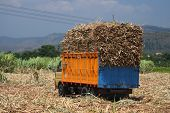 sugarcane truck with full load in the field
