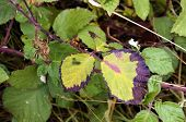 Black Berry Leaves Looking Scorched By A Long Hot Summer poster