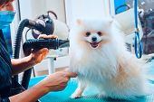 Pomeranian Dog On The Table For Grooming In The Beauty Salon For Dogs. Toned Image. The Concept Of P poster