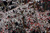 berry bush in ice