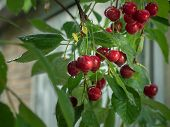 Close Up View On Ripe Red Cherry After Rain In Garden. Ripe Berries Hanging On Cherry Branch. Red Ch poster