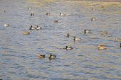 Ducks Swimming In The Pond. Wild Mallard Duck. Drakes And Females. poster