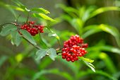 Bush Of Red Elderberry. Sambucus Racemosa Is A Species Of Elderberry Known By The Common Names Red E poster