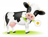image of calf cow  - Little black and white cow eating daisy - JPG
