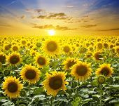 stock photo of sunflower  - Summer landscape - JPG