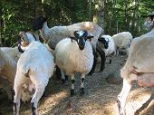 picture of suffolk sheep  - A group of sheep clearing land for a new pasture - JPG