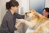 pic of fondling  - A veterinarian fondling a golden retriever to becalm him for an ultrasonic examination - JPG