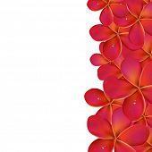 Pink Frangipani With Border, Isolated On White Background, Vector Illustration