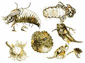 picture of lice  - shaded drawing of human lice - JPG