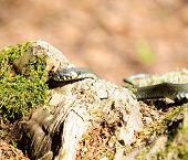 Sipedon (Natrix) kruipen op hout Log
