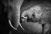 picture of tusks  - Elephants showing affection  - JPG