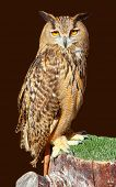 Bubo bubo eagle owl night bird on brown background [ photo-illustration]
