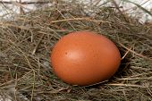 Chicken Egg In Nest