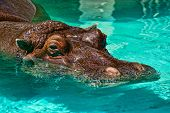 "foto of sub-saharan  - African hippopotamus (Hippopotamus amphibius) the ""river horse"" is a large mostly herbivorous mammal in sub-Saharan Africa.
