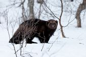 picture of wolverine  - A high resolution image of a Wolverine - JPG
