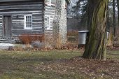 Maple Tree With Sap Buckets And Log Cabin