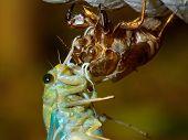 Zikade (Tibicen Pruinosus) Metamorphose
