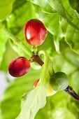 Ripe and unripe berries of coffee tree