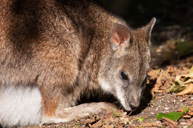 foto of tammar wallaby  - A parma wallaby in a dutch zoo - JPG