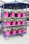 Impatiens in Pink Pots