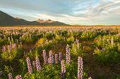 Постер, плакат: Луга полны цветущих Нутка Люпен Люпин нутканский под горы Исландия Закат
