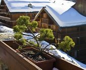 A Pine Tree In Bonsai Style.