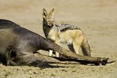 Black Backed Jackal Eating Dead Wildebeest