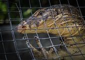 Monitor Lizard (varanus Salvator)