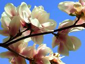 Blooming Spring Tree Branches Of Magnolia
