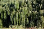 stock photo of weeping willow tree  - Weeping willow tree branches and leaves hanging down - JPG