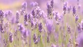 Branches Of Flowering Lavender
