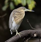 Black-Crowned Night-Heron Perching