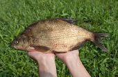 Large Freshwater Bream In The Hands