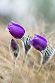 Purple pasque flowers on mountains