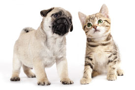 picture of coon dog  - pug puppy and kitten - JPG