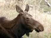 Big Cow Moose Northern Alaska Wild Animal Wildlife Portrait