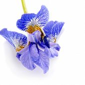 Flower Of A Blue Iris.